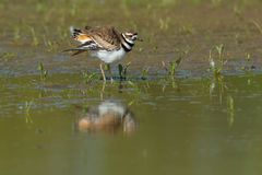Killdeer - Charadrius vociferus. Killdeer standing at the edge of the water fluffing its wings. Ashbridges Bay Park, Toronto, Ontario, Canada Royalty Free Stock Photography