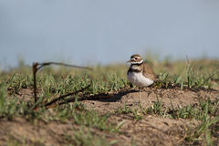 Killdeer, Charadrius vociferus Stock Images