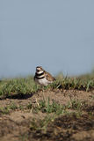 Killdeer, Charadrius vociferus Stock Photo