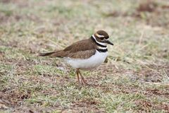 Killdeer (Charadrius vociferus) Stock Photography
