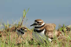 Killdeer And Chic Stock Images