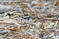Killdeer Chick Stock Photos