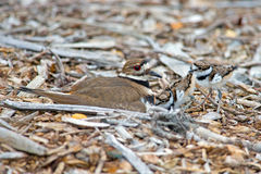 Killdeer Chicks Stock Photo