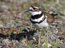 Killdeer Closeup - Charadrius vociferus Royalty Free Stock Image
