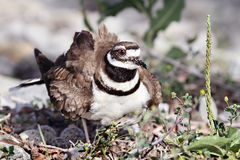 Killdeer da mãe Foto de Stock Royalty Free