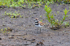 Killdeer dans le marais Photos libres de droits