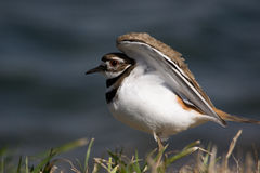 Killdeer displaying its white flanks Stock Image