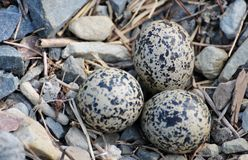 Killdeer eggs Royalty Free Stock Photos