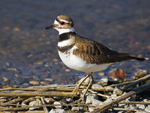Killdeer Stock Photo