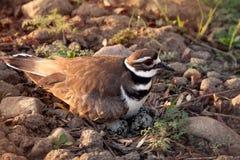 Killdeer femelle protecteur gardant son nid photographie stock libre de droits