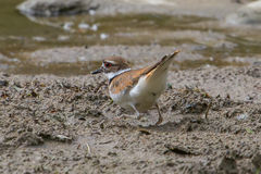 Killdeer Royalty Free Stock Images