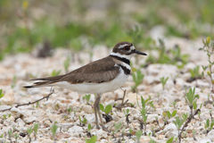 Killdeer on a Gravel Beach Royalty Free Stock Images
