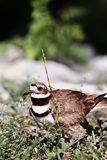 Killdeer Stock Photos