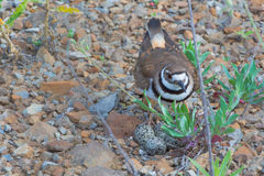 Killdeer guards nest. Killdeer guards her nest of eggs.  Her natural camouflage blends into the area Royalty Free Stock Photos