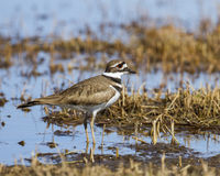 Killdeer in Idaho Marsh Royalty Free Stock Photos