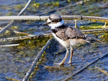 Killdeer kurczątko Obraz Royalty Free