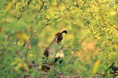 Quail Perched in a Tree Royalty Free Stock Image