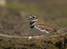 Killdeer Stock Image