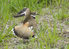 Killdeer. A killdeer makes an injury display to distract a predator away from its nest stock photo