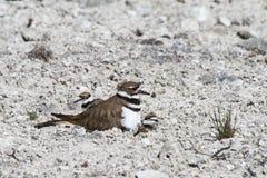 Killdeer mother bird with hidden chicks stock photos