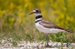 Killdeer. Near the marsh royalty free stock images