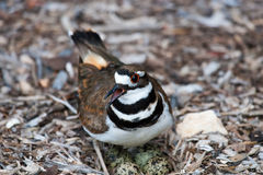 Killdeer on a Nest Stock Photos