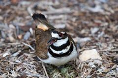 Killdeer on a Nest. A closeup photo of a Killdeer (Plover) guarding the eggs in her nest Stock Photos