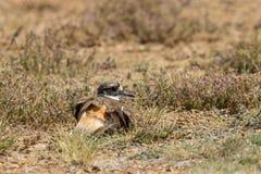 Killdeer on a Nest. A cute killdeer sitting on a nest in a field Stock Image