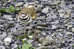 Killdeer and nest Stock Image