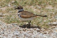 Killdeer on nest. stock images