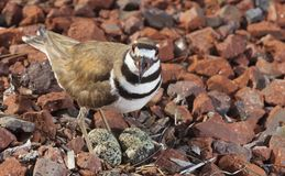 Killdeer and nest stock photography