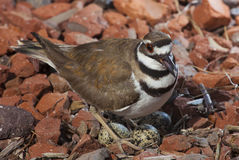Free Killdeer On A Nest With Eggs Royalty Free Stock Images - 91713009