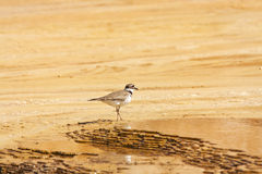 Killdeer Plover Bird in Yellowstone Stock Photos