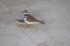 Killdeer plover lost on a concrete driveway ecological trap and habitat loss consequence. Killdeer plover Charadrius vociferous mother and chick lost on a stock photos