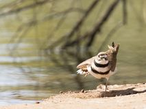 Killdeer posing for photographer royalty free stock images