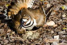 Killdeer protecting its nest Royalty Free Stock Photos