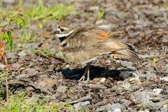 Killdeer protecting its nest Stock Photos