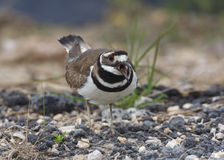 Killdeer que chama e que defende seu território do assentamento Foto de Stock Royalty Free