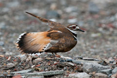 Killdeer Royalty Free Stock Photos