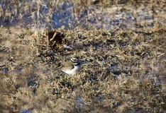 Killdeer siewki ptak camouflaged w stawowych płochach, Gruzja usa Fotografia Stock