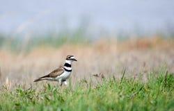 Killdeer siewki shorebird Fotografia Royalty Free