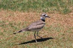 Killdeer Standing in Grass. A cute killdeer standing in a grass field Royalty Free Stock Photos