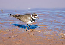 Killdeer standing in Mud Royalty Free Stock Photo