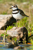 Killdeer Stock Images