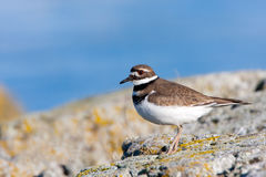 Killdeer standing on rock by the ocean, Canada Stock Photography