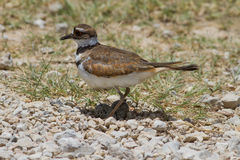 Killdeer sur le nid Images stock