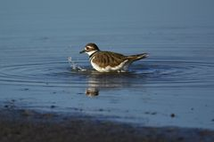 Killdeer. This killdeer taking it's morning bath at Goose Pond in south west Indiana part of green co royalty free stock photography