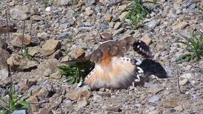 Killdeer trying to protect eggs. stock image