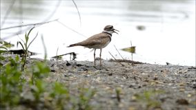 Killdeer Vocalization stock video