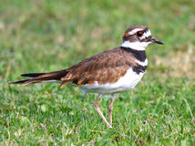 Killdeer (vociferus de Charadrius) photos libres de droits